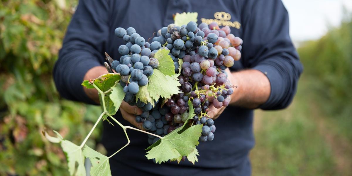 Torrevento wijnen uit de puglia Italie
